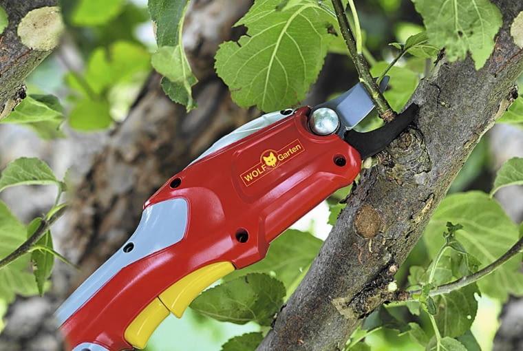 Przyciętym wiosną drzewom owocowym wycinamy zbędne młode pędy, tzw. wilki, które rosną do środka korony lub za wysoko. Na dolnych gałęziach skracamy je o połowę, by wytworzyły rozkładające się na boki nowe przyrosty. Poziome pędy lepiej owocują