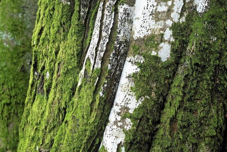 Moss and lichen SLOWA KLUCZOWE: Alge Algen Baum Biologie Botanik Flechte Fungi Holzstamm Meeresalgen Moos Moose Natur Pflanze Pilz Pilzkunde Stamm biologisch botanisch bryophytes fagus sp. symbiotic Hochformat