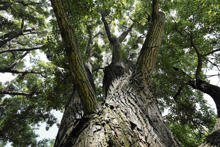 05.06.2014 Warszawa . Drzewo - Topola Czarna . Zamowienie - Magnolia . Fot. Franciszek Mazur / Agencja Gazeta