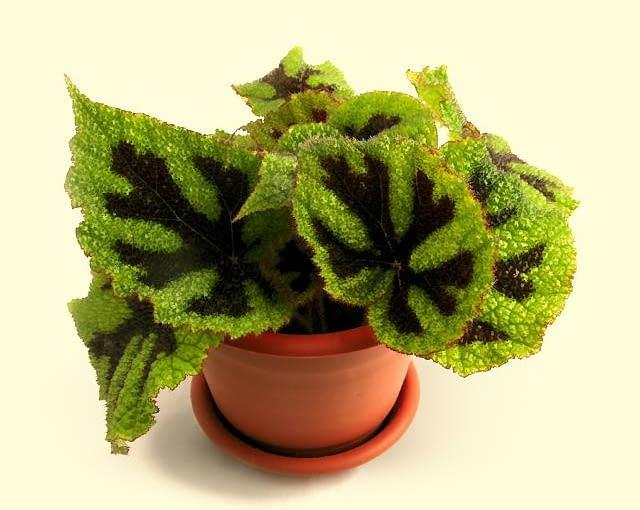 Begonia Massona rozrasta się szeroko