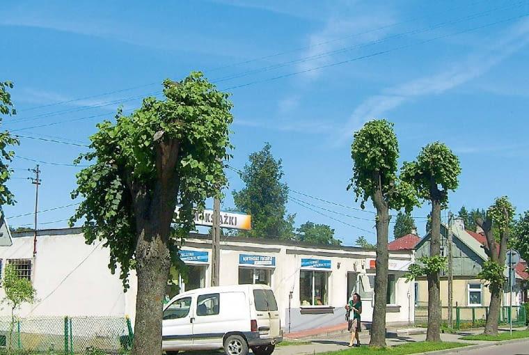 A tymczasem w Polsce... drzewa sie wycina lub okalecza, obcinając dolne gałęzie i redukując korony.