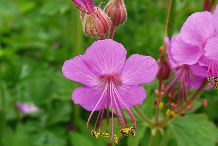 Bodziszek Korzeniasty (Geranium macrorrhizum)