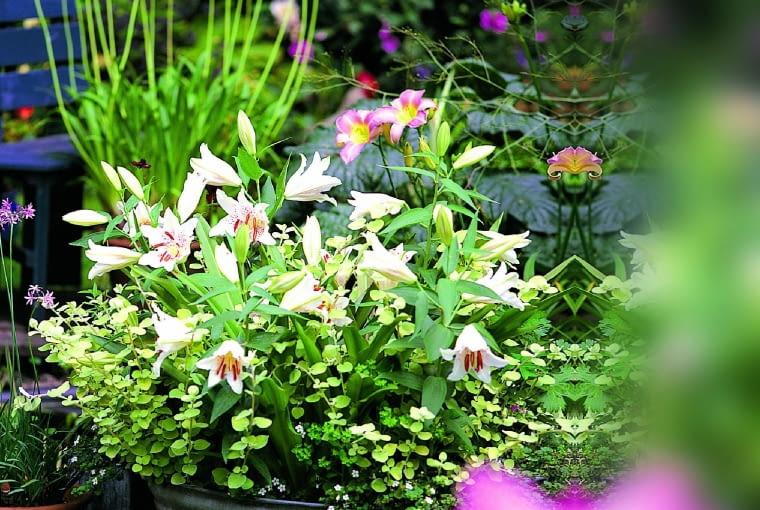 """Wonna lilia """"Casablanca"""" to mieszaniec orientalny. Dorasta do 1 m, akwiaty mają do 25 cm średnicy."""