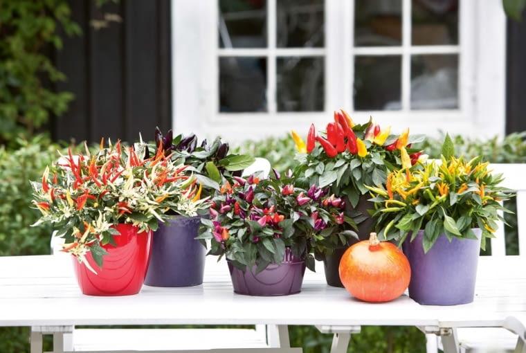POGODNA ARANŻACJA zminiaturowych papryczek okolorowych owocach, kwitnącej żurawki (Heuchera).