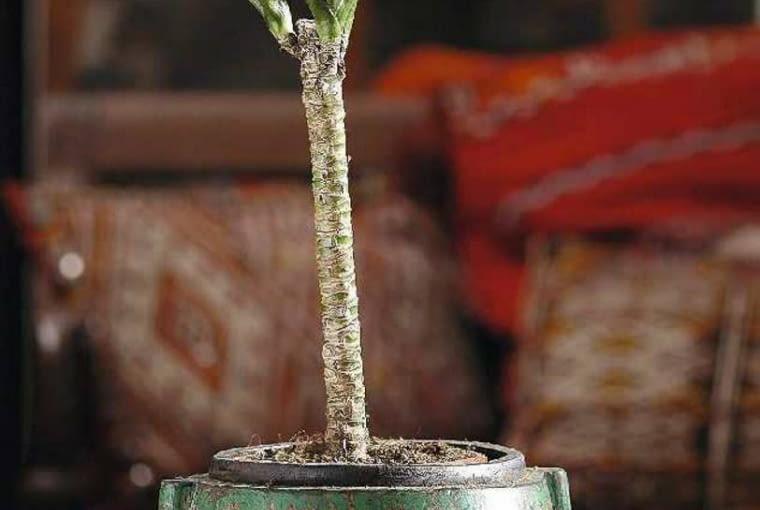 LIŚCIE DRACENY WONNEJ 'COMPACTA' (Dracaena fragrans 'Compacta') są krótsze i szersze niż u innych dracen.