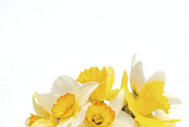 Kwiaty cebulowe. Narcyzy