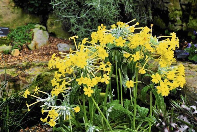 P. VERTICILLATA może dorastać do 60 cm. Kwitnie na żółto w maju.