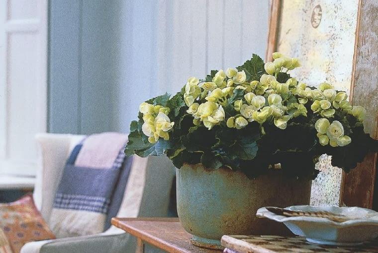 Begonia, kwiaty doniczkowe, kwiaty we wnętrzu, kwiaty w stylu retro