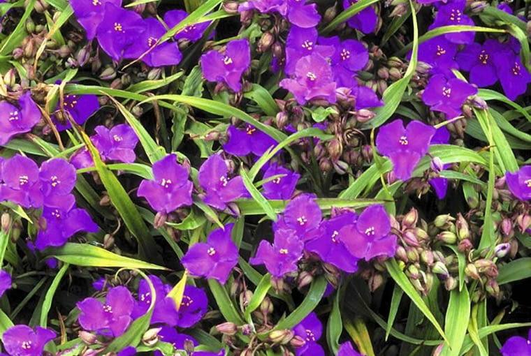Tradescantia x andersoniana SLOWA KLUCZOWE: Blume Blumen Close Up Farben Nahaufnahme Perennial Pflanze Portrait Sommer Staude Veilchen blau blühend pink rosa vilolett violett violette