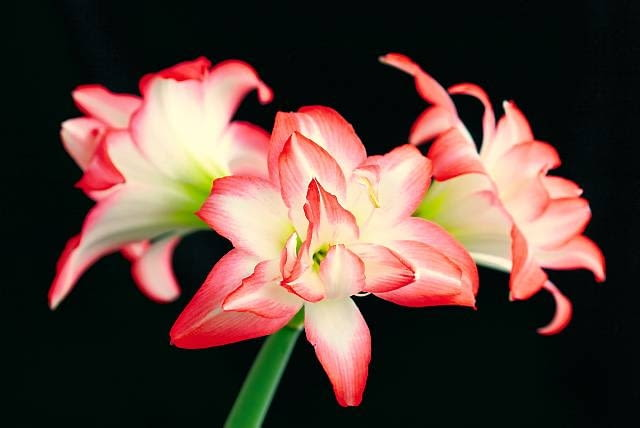 Mieszaniec w barwach kwiatu jabłoni. Wąskie płatki układają się na kształt gwiazdy