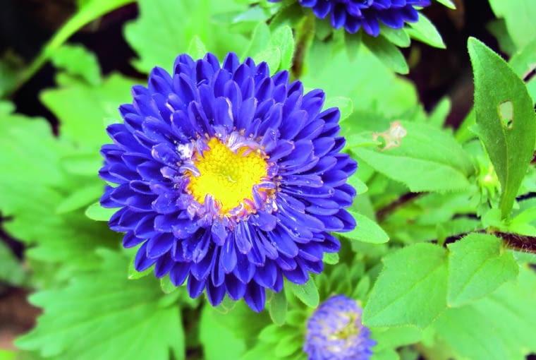 Odmiana pomponowa 'Pompon Blue'