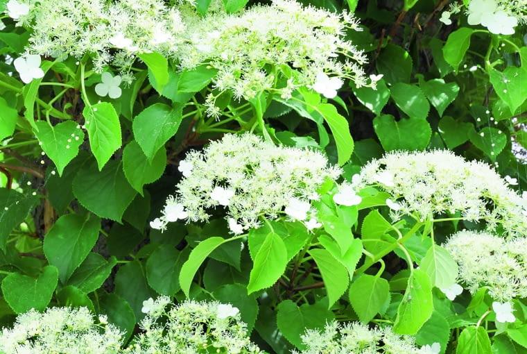 Lato: Wczerwcu ilipcu pojawia się kwiatowy welon. Kwiatki zpłatkami (ośrednicy 2 cm) wabią owady, zdrobnych powstają owoce.