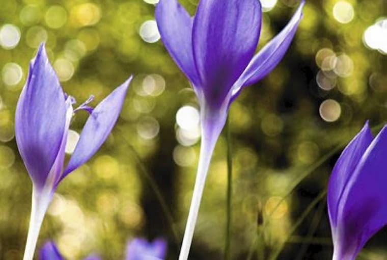 Kwiaty cebulowe. Zimowity jesienne (2) kwitną zaraz po posadzeniu, wiosną natomiast wypuszczają ozdobne liście