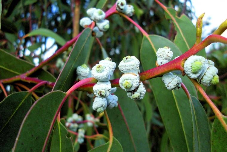 Owoce eukaliptusa