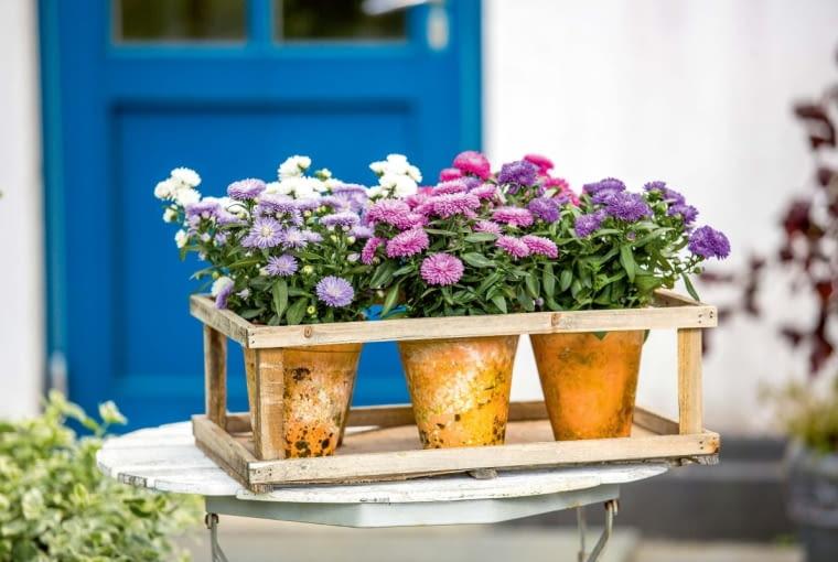 ASTRY (Aster), potocznie nazywane marcinkami kwitną od sierpnia do wczesnych przymrozków. Ich kwiaty są tak efektowne, że nie wymagają ozdobników.