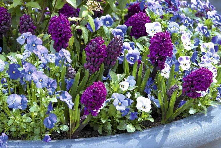 01A95TV6; Hyacinthus orientalis Woodstock, Viola Mariposa Blue SLOWA KLUCZOWE: