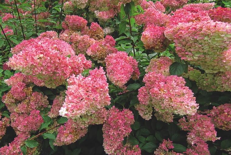 Odmiana 'Vanilla Fraise' charakteryzuje się ciemno-czerwonymi pędami i wyprostowanym pokrojem. Kwiaty, początkowo białe, szybko różowieją i stają się niemal czerwone.