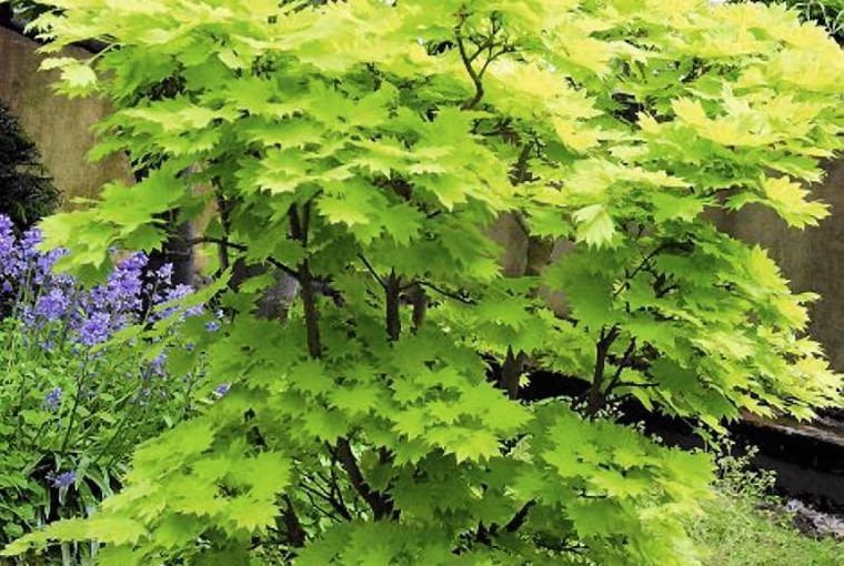 KLON JAPOŃSKI 'AUREUM' jest podobny do klonu Shirasawy. Najłatwiej rozróżnić je wiosną, gdy kwitną (klon japoński - na czerwono, Shirasawy zaś ma płatki białawe, a działki kielicha zaczerwienione).