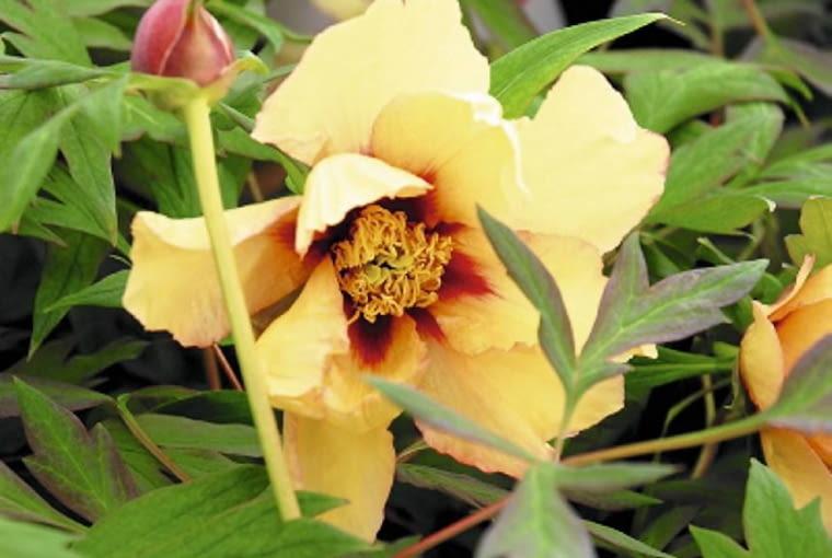 Oryginalną urodą wyróżniają się odmiany o kwiatach żółtych, kolorze nieczęsto spotykanym wśród peonii. Dodatkową ozdobą płatków jest ciemnoczerwona plama u ich nasady