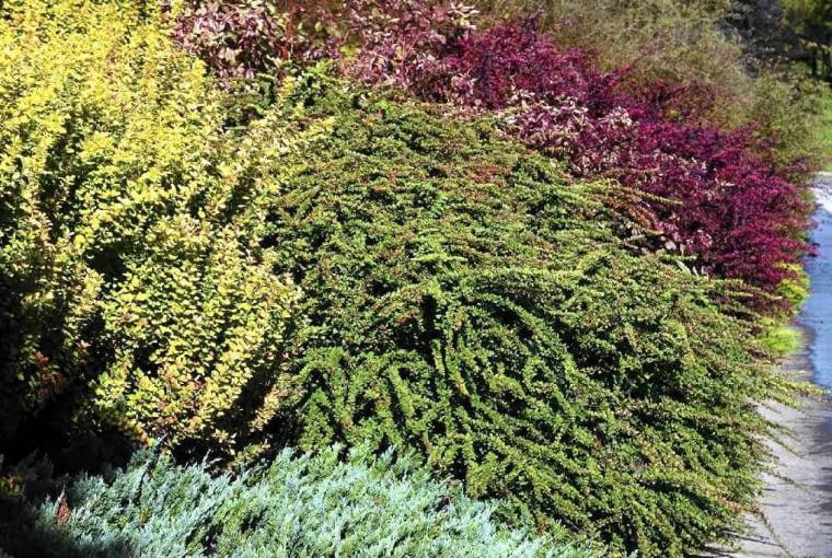 KOLOROWA RABATA z różnych odmian berberysów. Krzewy posadzone na skarpie dobrze umacniają grunt.