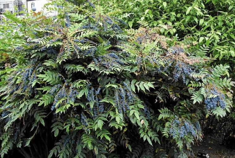 Mahonia pośrednia odmiana 'CHARITY' tworzy szerokie kępy. Na zdjęciu roślina w okresie dojrzewania owoców.