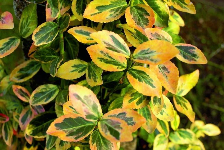 Odmiana 'Emerald'n Gold'późną jesienią przebarwia się efektownie na purpurowo. Zkolei jej młode liście zachwycają odcieniami soczystej zieleni iżółci.