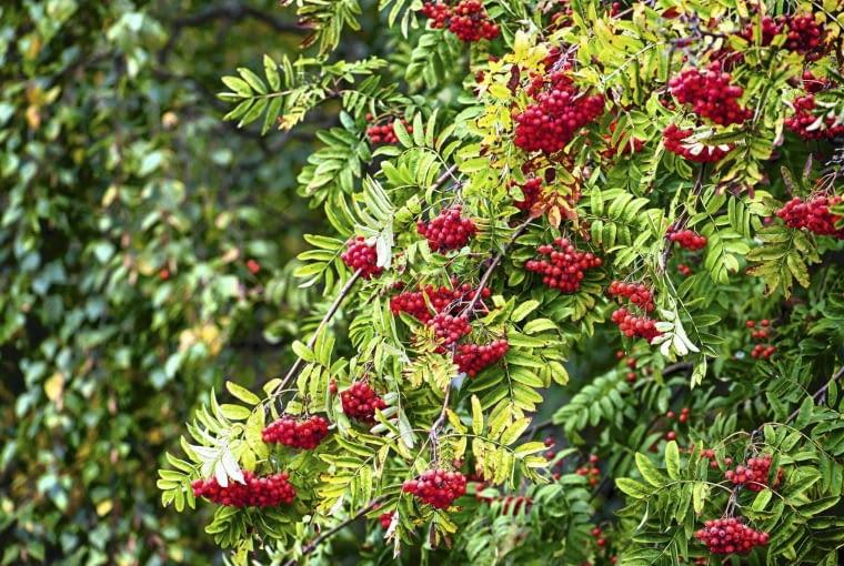 JARZĄB 'FLANROCK' tworzy ciemnożółte owoce. Rośnie w formie wąskiej kolumny o wysokości do 5 m.OWOCE TYPOWEGO JARZĘBU są ciemno-pomarańczowe, świetne na przetwory.
