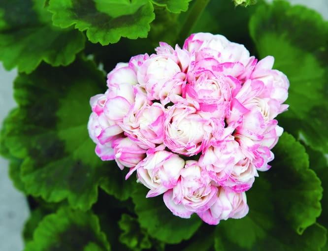 Pelargonia rabatowa o pełnych kwiatach