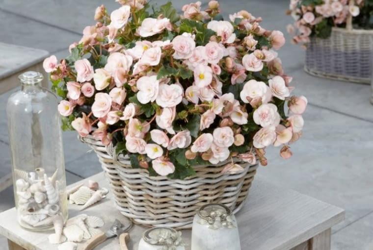 Begonia 'Cottage Vintage'