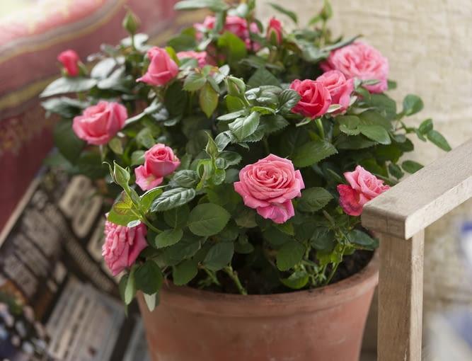 Róża w pojemniku może zdobic balkon przez lato. Jesienia mozna ją pzresadzić do ogrodu lub do dużego pojemnika zabezpieczonego przed mrozem i pozostawic na balkonie.