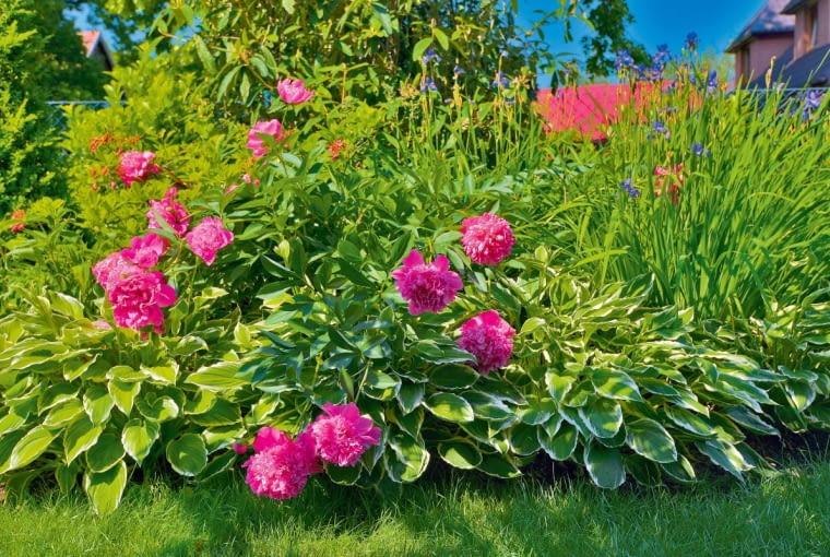 Piwoniom chińskim towarzyszą funkie odwubarwnych liściach i kępy błękitnych irysów syberyjskich.