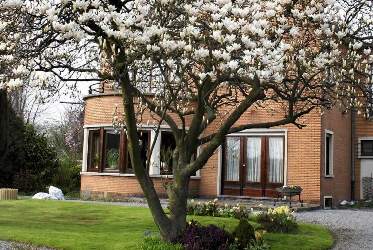 Magnolia Soulange'a, uprawiana w Europie już w XIX wieku, to piękny wiosenny akcent w ogrodzie.