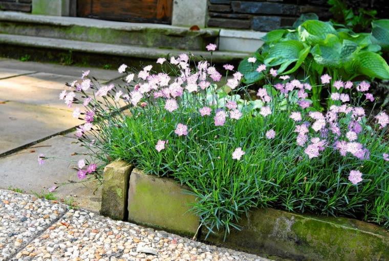 GOŹDZIK CHIŃSKI kwitnie pod koniec maja. Osiąga 20 cm wysokości. Mocno pachnie.