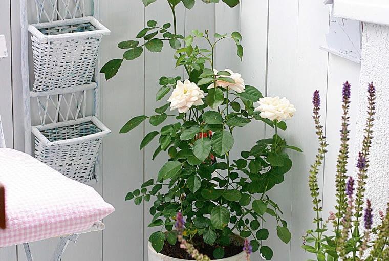 Wbalkonowym kąciku przycupnęła biała pachnąca róża. Na płotku zawisł wiklinowy gazetownik.