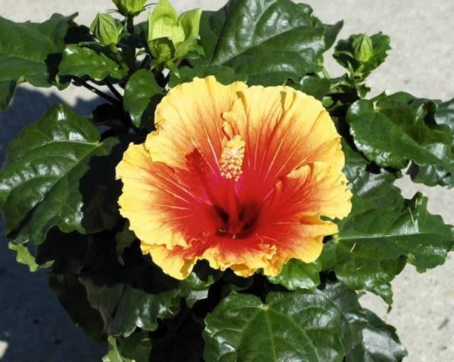 nowości kwiatowe, kwiaty na balkon, Ketmie 'Apollo' i 'Volcano'