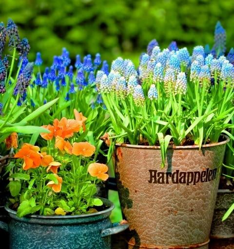 Szafirki i bratki. Do posadzenia kwiatów można wykorzystać stare, niepotrzebne naczynia. Jeśli nie są dziurawe, podlewajmy rośliny ostrożnie, by nie zalać korzeni.