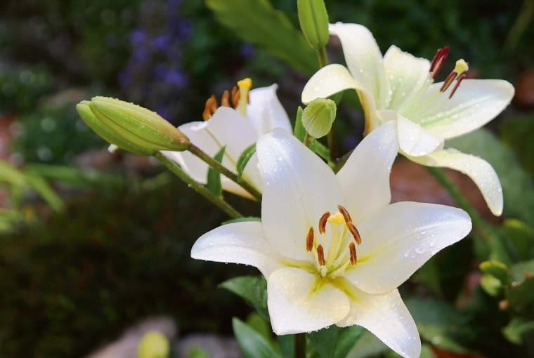Lilia biała Lilium candinum