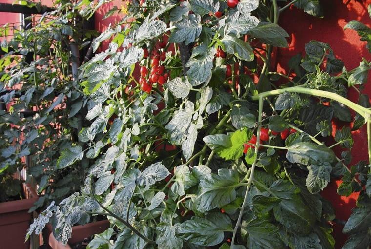 Pomidory koktajlowe zwykle trzeba podwiązywać. Powinny mieć jedynie 1-2 pędy.