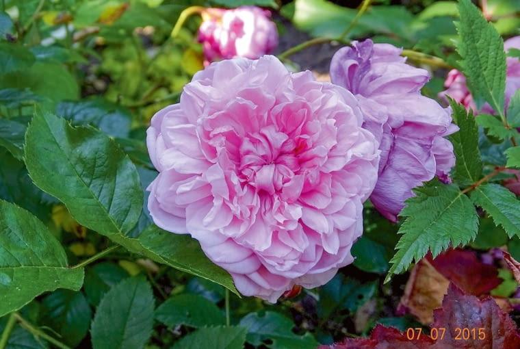 Róża angielska 'Sister Elizabeth' z charakterystycznym 'oczkiem' w centrum zachwyca dojrzałą urodą.