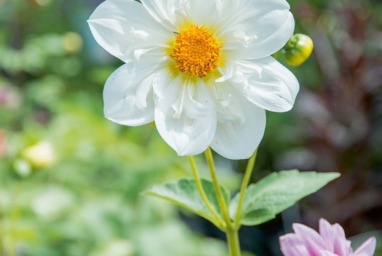 'Twining's White Chocolate' - dalia kołnierzykowa, wys. 90 cm, śr. 'kwiatu' 9 cm.