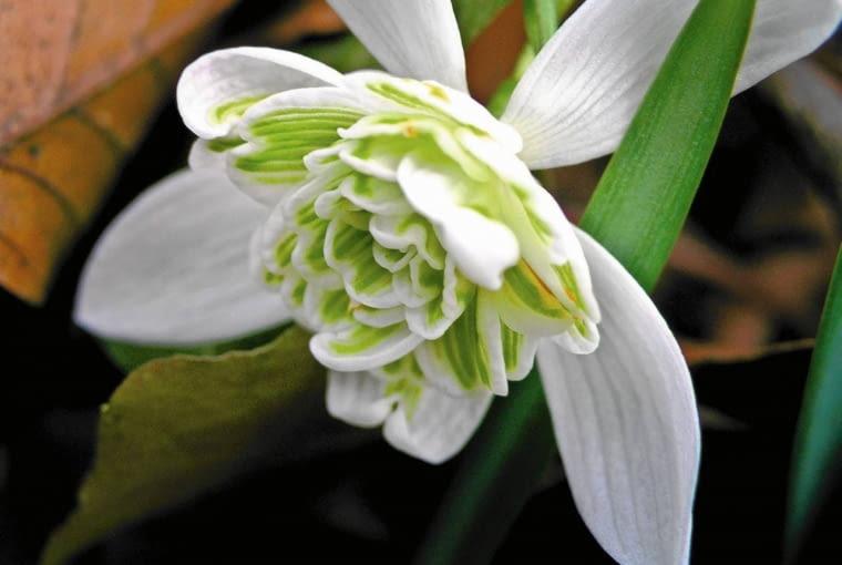 OLYMPUS DIGITAL CAMERA SLOWA KLUCZOWE: galanthus nivalis przebisnieg snowdrops