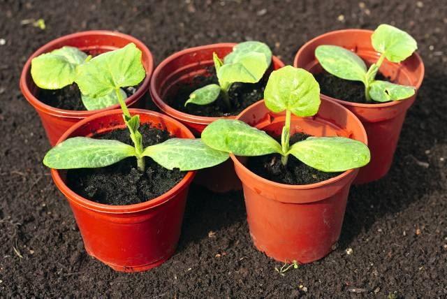 Nasiona ogórków i innych warzyw dyniowatych wysiewamy pojedynczo do osobnych doniczek. Na zdjęciu siewki z liścieniami i pierwszymi liśćmi