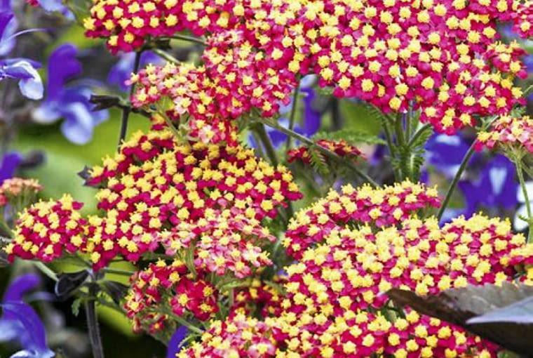 SLOWA KLUCZOWE: achillea bylina byliny czerwiec czerwony june krwawnik milefolium millefolium paprika perennial perennials pion red vertical