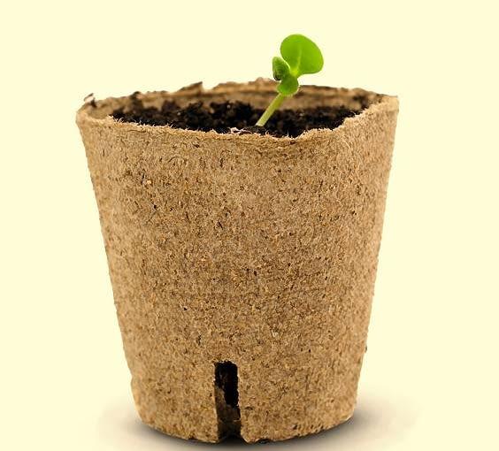 Używane do wysiewu jednorazowe doniczki z tektury sadzimy do gruntu wraz z rozsadą. Wkrótce ulegną rozkładowi w glebie