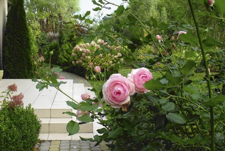 Przy tarasie i pod oknami królują róże