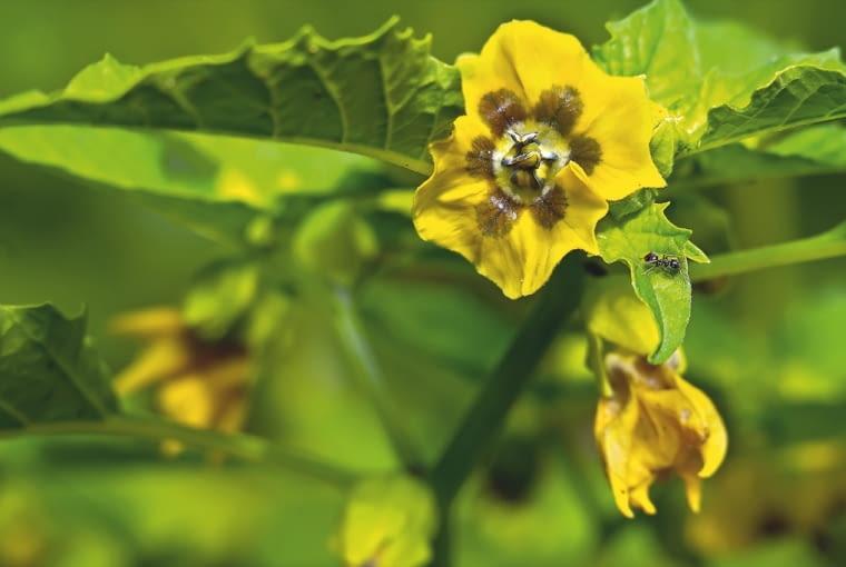 MIECHUNKA PERUWIAŃSKA - kwiaty.