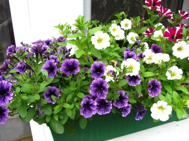 Różnobarwne petunie posadzone w skrzynkach będa się pieknie rozrastać i kwitnąć nieprzerwanie aż do pierwszych jesiennych przymrozków.