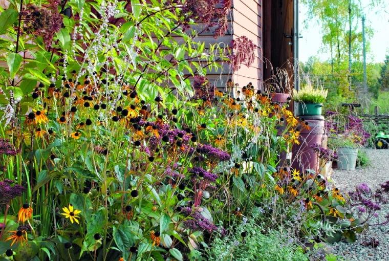 Kwiaty rudbekii błyskotliwej lśnią wśród baldachów rozchodnika okazałego, pędów traw ozdobnych i sadźca oraz kęp kocimiętki z ostatnimi niebieskimi kwiatami.