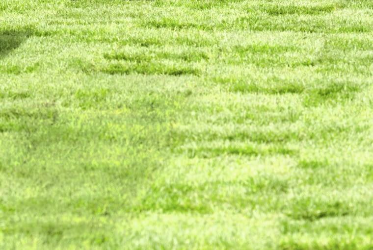 Trawnik z rolkii za pierwszym razem skracamy do 6 cm. Częste i niskie koszenie można przeprowadzać dopiero po 3-4 tygodniach, gdy trawa się dobrze ukorzeni