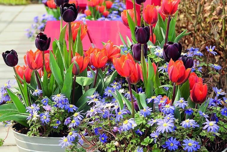 Oryginalny zestaw barw tworzą tulipany 'Orange Emperor' i'Black Horse' oraz zawilce powabne.